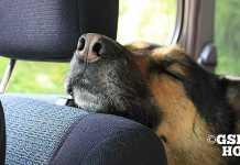 シェパードや犬を車好きにする方法