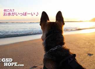 成犬シェパードや大型犬の里親