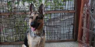 ドミナントドッグ(親分系)犬と飼い主の関係