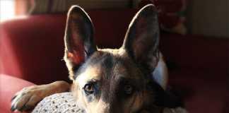 分離不安症 犬 訓練