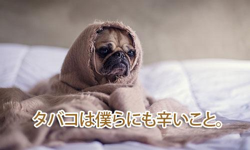 パグ、チワワなど鼻の低い犬たちは特に肺癌を発症する傾向がある